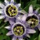 Passiflora 'Damsel's Delight'