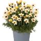Rhodanthemum 'Zagora Yellow'